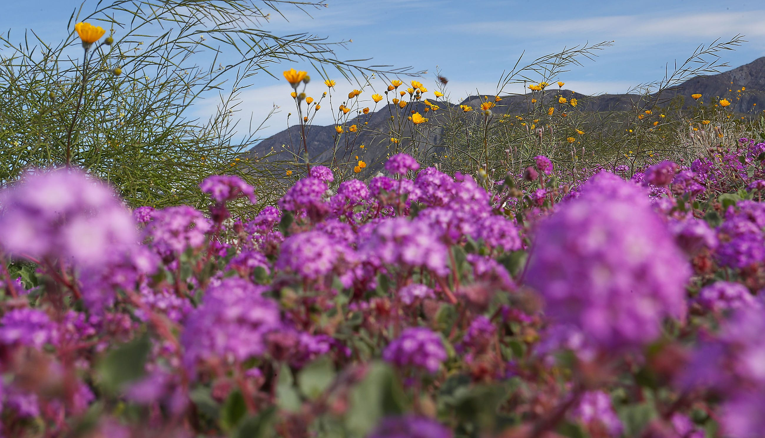 Wildflowers bloom in the Anza Borrego Desert State Park near Borrego Springs, California after wet weather earlier this year, March 1, 2019.