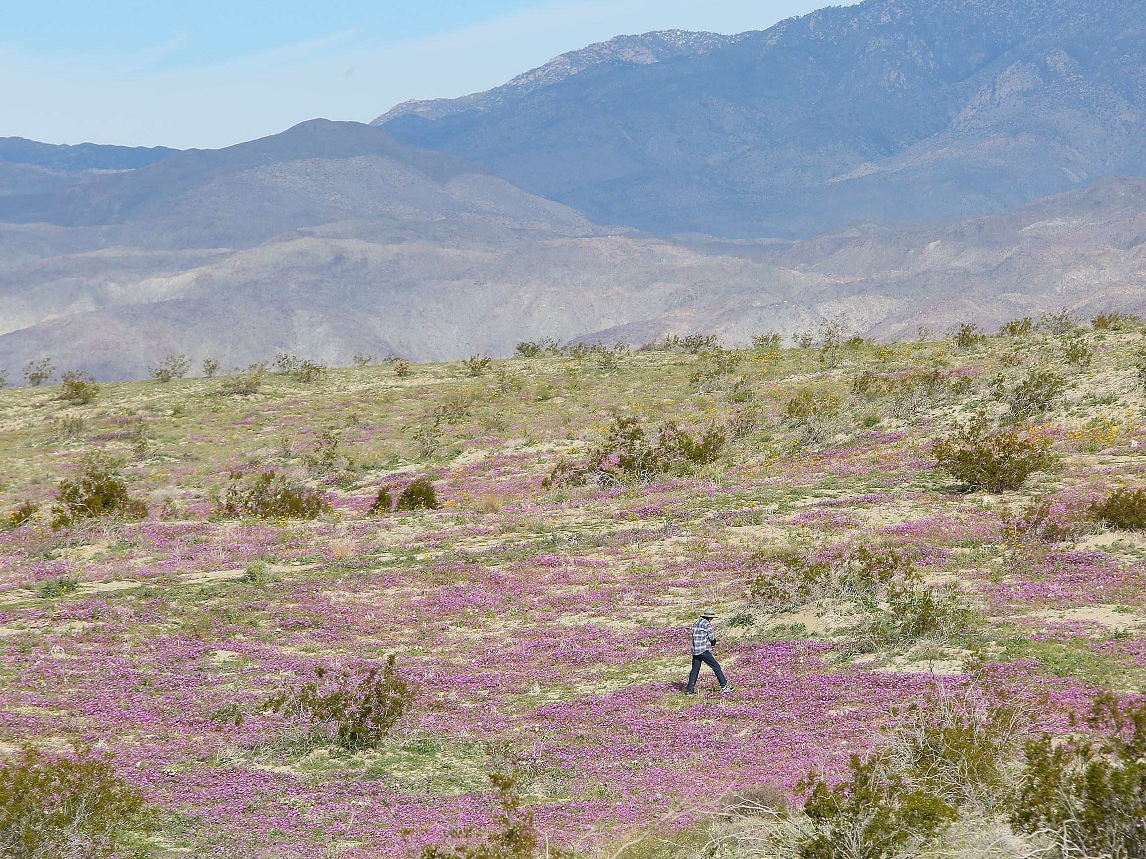 A visitor to the Anza Borrego Desert State Park checks out the wildflower bloom near Borrego Springs, California, March 1, 2019.