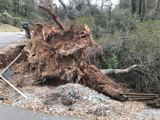 One of the larger trees uprooted during the Redding-area snowstorm Feb. 12-13 was this gray pine at the corner of Walker Mine and Bob's Mountain roads north of Redding.