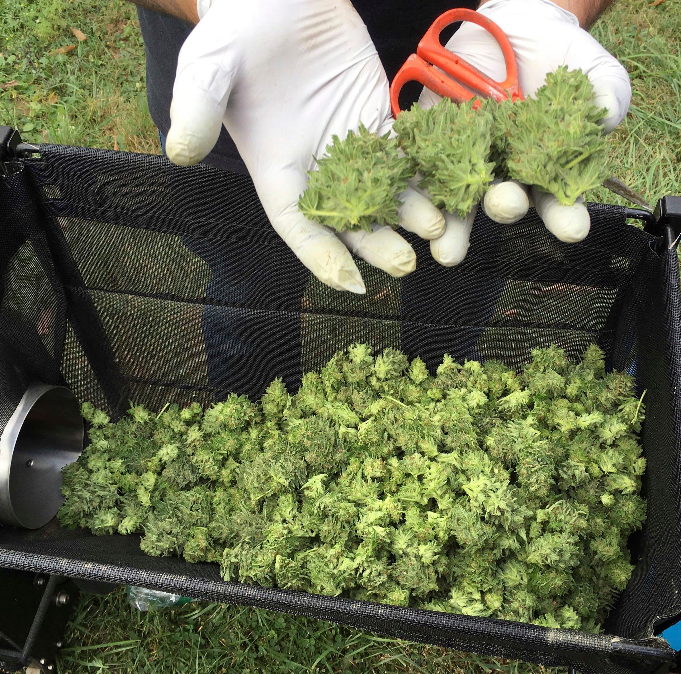 A marijuana harvester examines buds from a trimming machine near Corvallis, Oregon.