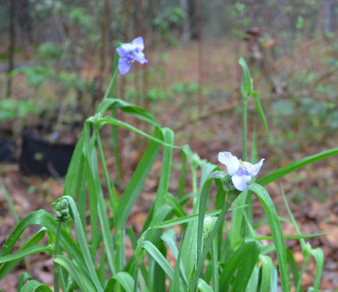 Spiderwort is a native wildflower with a descriptive, but archaic name. It grows well in Leon County.