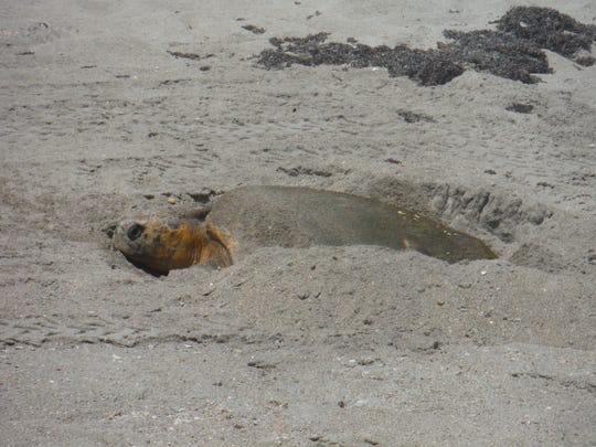 St. Lucie County asks residents, businesses and visitors to help conserve sea turtles by practicing sea turtle-friendly practices such as proper beachfront lighting. Improper beachfront lighting can imperil our endangered and threatened sea turtle populations. If one observes sea turtle nest poaching or harassment of sea turtles on the beach, please call 911 or the Florida Fish and Wildlife hotline at 1-888-404-FWCC.