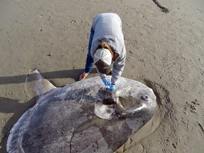 In this Feb. 21 photo provided by UC Santa Barbara, Jessica Nielsen, a conservation specialist, examines a beached hoodwinker sunfish at Coal Oil Point Reserve in Santa Barbara.
