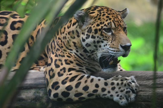 The jaguar is a wild cat species and the only surviving member of the genus Panthera native to the Americas.