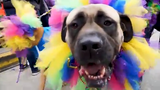 Young-Williams Animal Shelter's annual Mardi Growl parade returned to downtown Knoxville with hundreds of dogs and thousands of people to raise funds for the shelter.