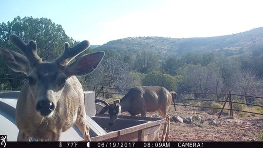 A BLM wildlife camera captures two mule deer bucks using a drinker located in Otero County.
