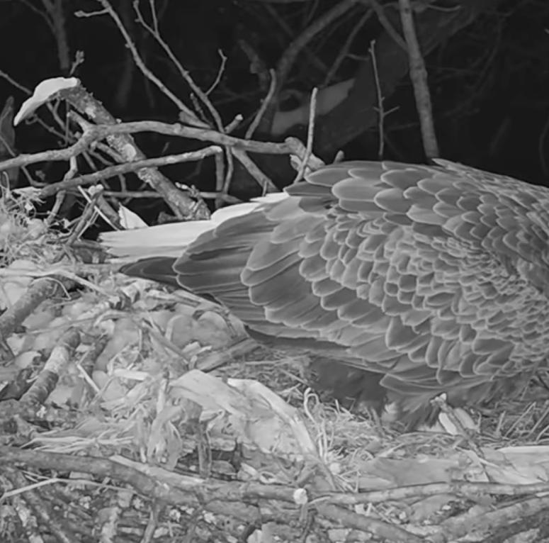 Hanover eagle cam: 'Liberty' lays second egg of 2019 season