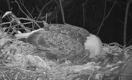 A screenshot of the HDOnTap eagle camera on March 1, 2019.