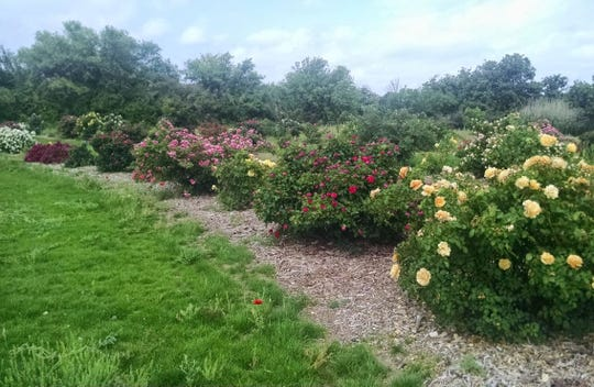 Earth-Kind roses, like these located in San Angelo's Kirby Park, have been proven to grow very well with no fertilizer, no pesticides, and less irrigation that traditional varieties.