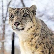 Potter Park Zoo's snow leopard, Little Girl, dies at age 20