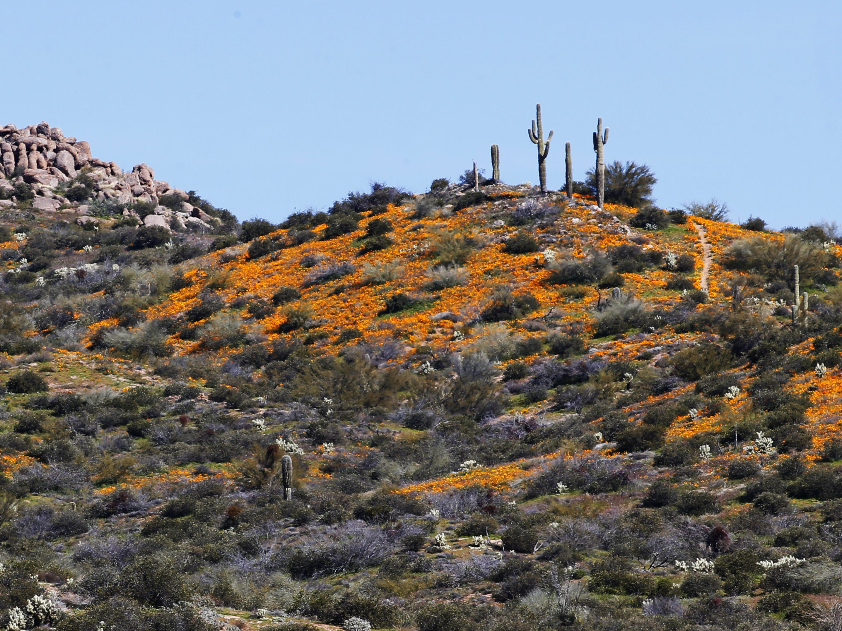 Poppies bloom on a hill off Bartlett Dam Road near Bartlett Lake on March 3, 2019.