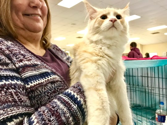 "Lois Gollmore, of Willard, holds Maine Coon Wild Pride Einstein Divine, of the LJ Cool Catz, during ""The Art of Cats"" show presented by South Central Rendezvous Cat Club at the Branson-Hollister Lions Club March 3."
