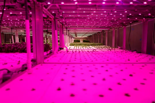 Basic is in various states of growth under grow lights that appear pink at 80 Acres Farms in the Spring Grove Village neighborhood of Cincinnati on Thursday, Feb. 28, 2019.