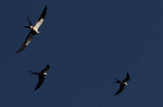 Swallow-tailed kites soar over the Corkscrew Regional Ecosystem Watershed in spring of 2018.