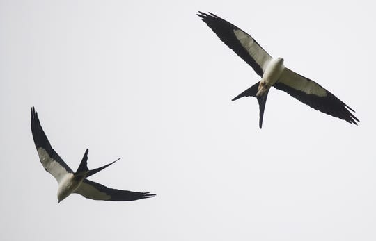 Swallow-tailed kites soars over the Corkscrew Regional Ecosystem Watershed in spring of 2018.