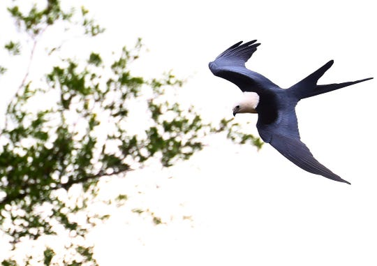 A swallow-tailed kite soars over the Corkscrew Regional Ecosystem Watershed in spring of 2018.