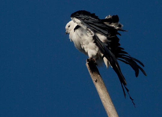 A swallow tail kite perches in on dead snag in the Everglades in 2015.