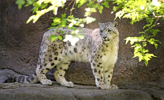 Little Girl, the snow leopard built quite a legacy at Potter Park Zoo. She died at age 20.