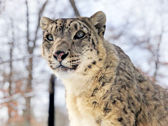 Little Girl the snow leopard built quite a legacy at Potter Park Zoo. She died at age 20.