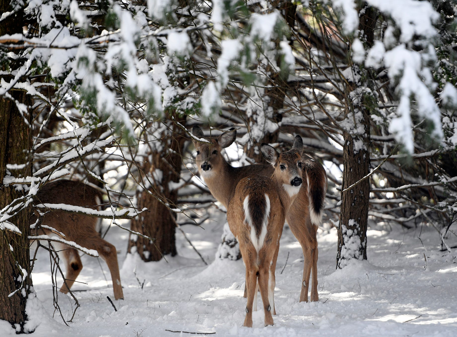 Deer under snowy trees the morning after the storm on Monday, Feb. 4, 2019, in River Vale.