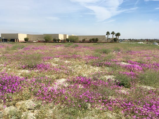 Flowers bloom in a field off Sunny Dunes Road and San Luis Rey Drive in Palm Springs.