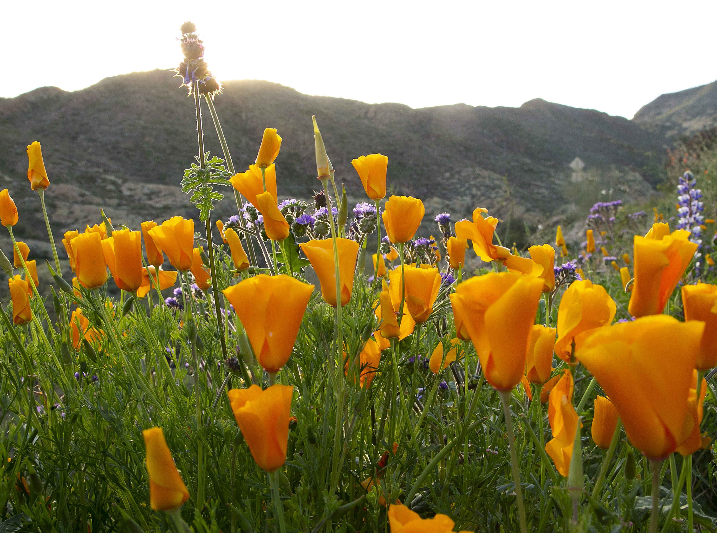Mexican poppy wildflowers in the Superstition Mountains near Canyon Lake on March 3, 2019.