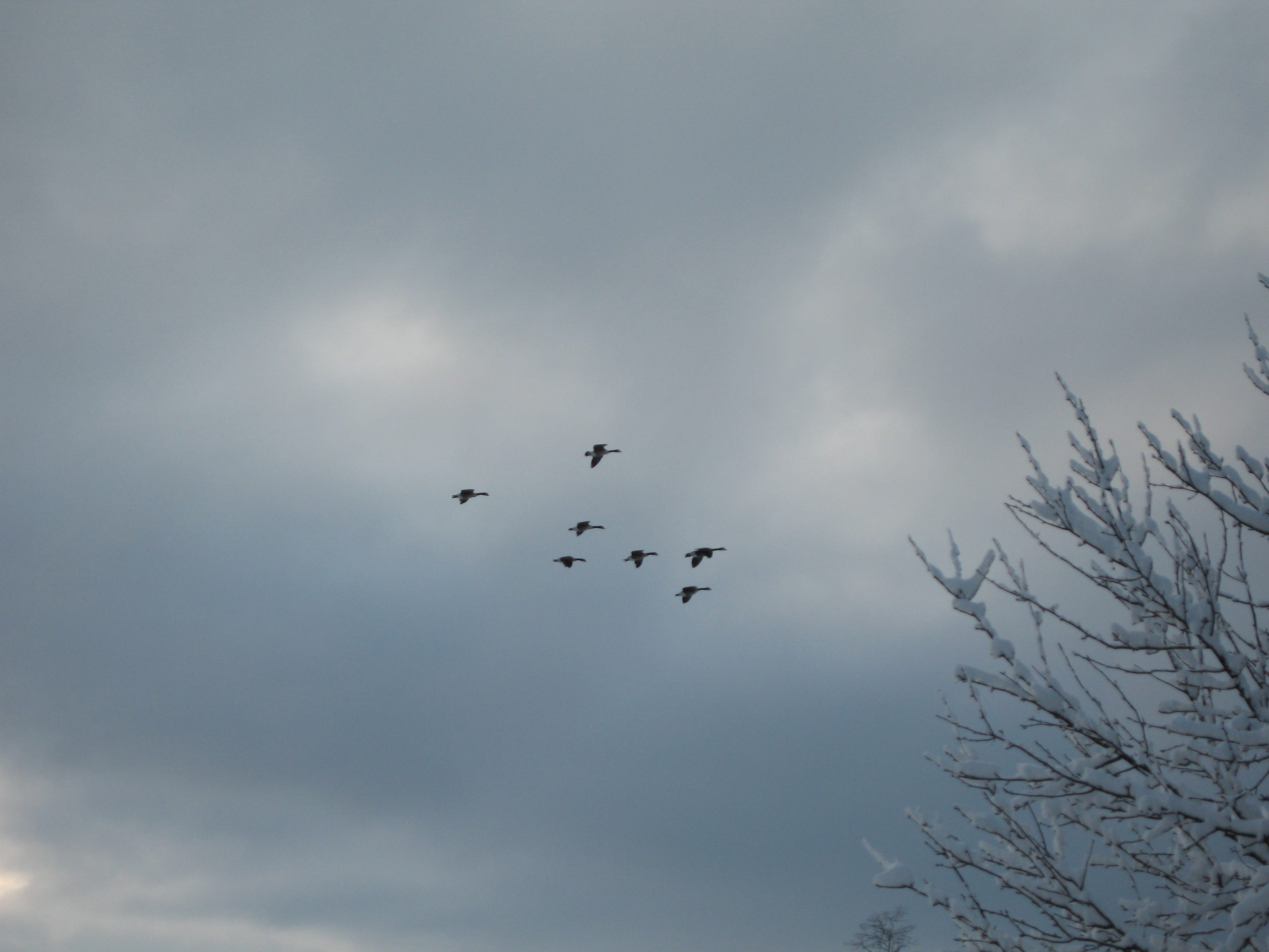 Geese over Wappingers (this) morning after snowfall