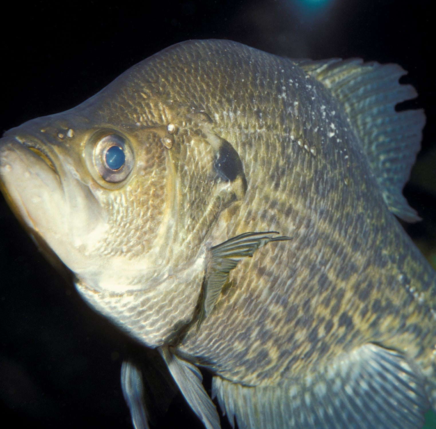 Anglers set for somewhat overlooked crappie season