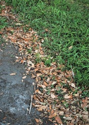 Oak trees shedding leaves is a sign of spring on the Treasure Coast. Use fallen oak leaves like any other mulch; apply a 2 to 4 inches thick layer over the root zone of trees and shrubs. Do not pile them against the trunk and branches of plants or against the walls of buildings. Another favorite place for oak leaf mulch is in the veggie garden.