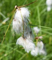 Cottongrass presently growing in the sedge meadow.