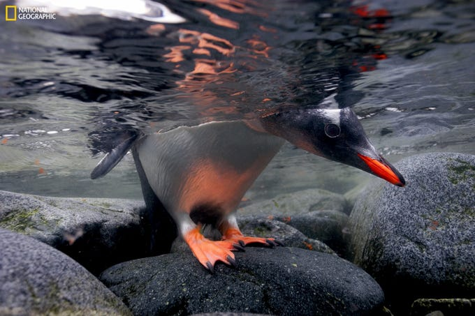 A gentoo penguin peeks beneath the water before taking the plunge. The exhibition is organized and traveled by the National Geographic Society