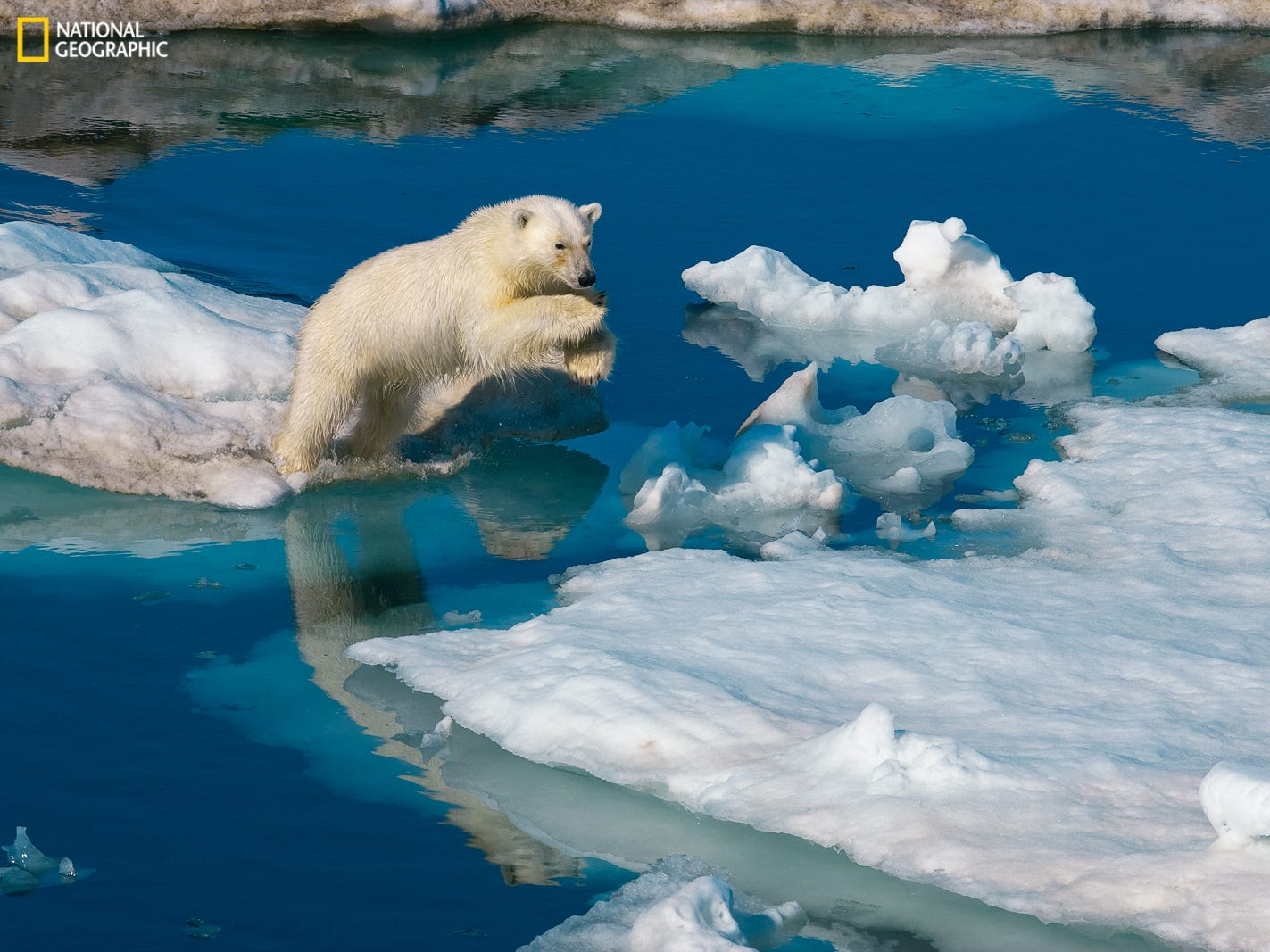 A young male polar bear leaping onto drifting pack ice. The exhibition is organized and traveled by the National Geographic Society