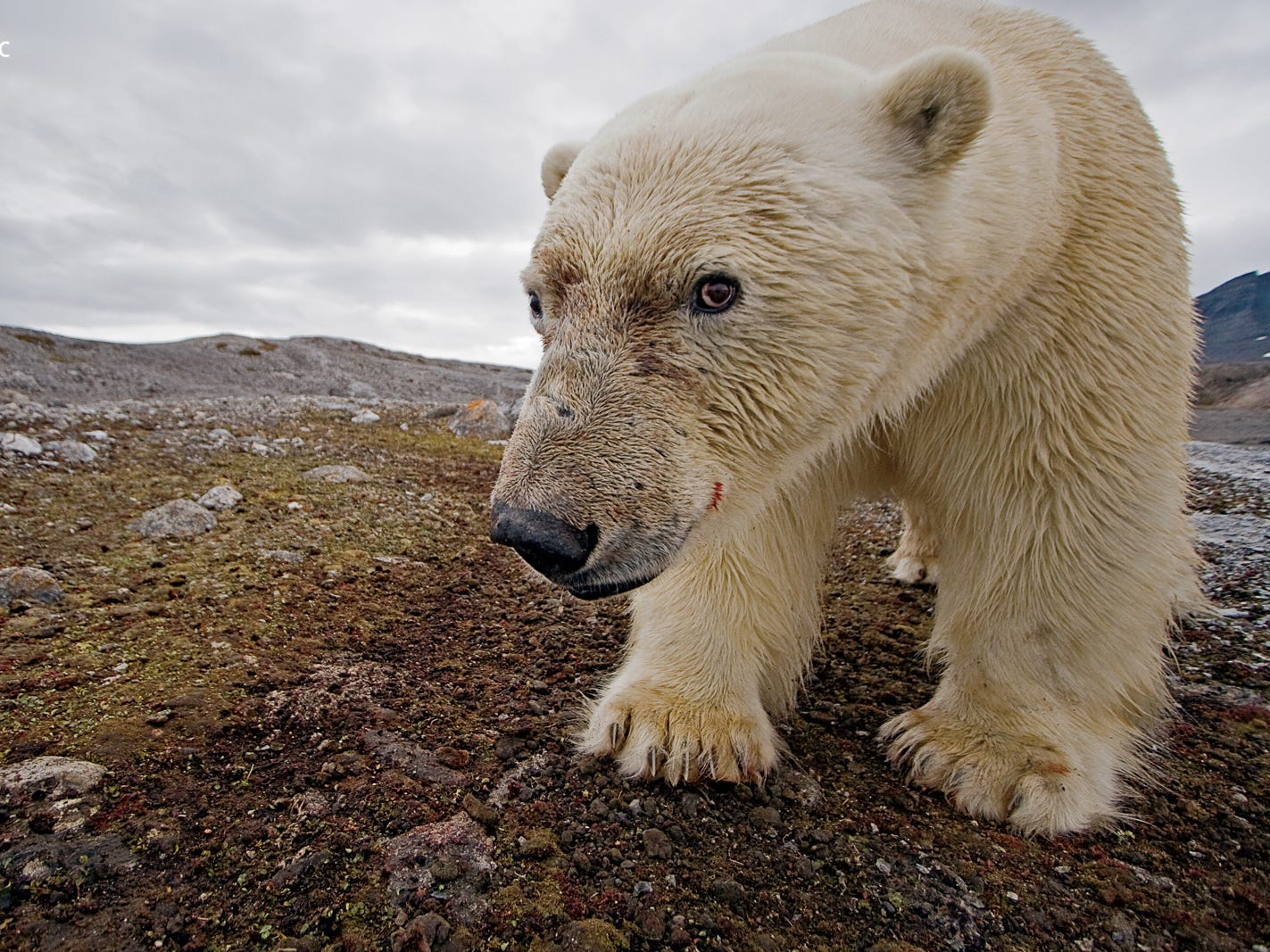 A male polar bear taking its image with a camera trap. The exhibition is organized and traveled by the National Geographic Society