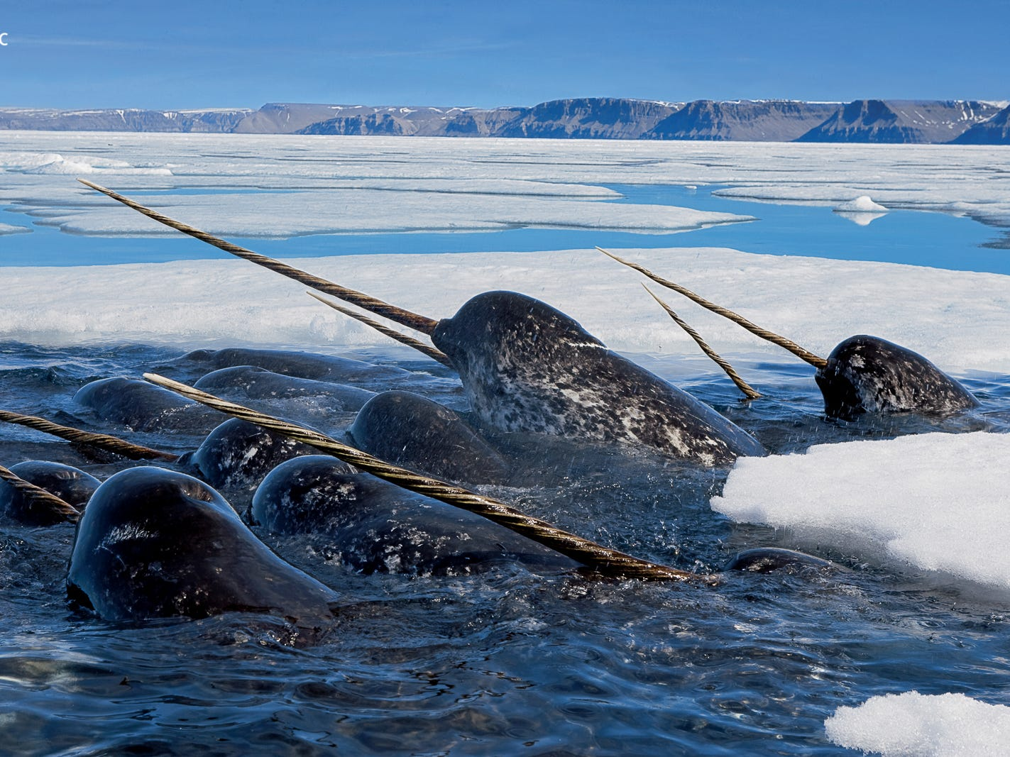 A pod of male narwhals gather at the Arctic ice edge to eat cod. The exhibition is organized and traveled by the National Geographic Society