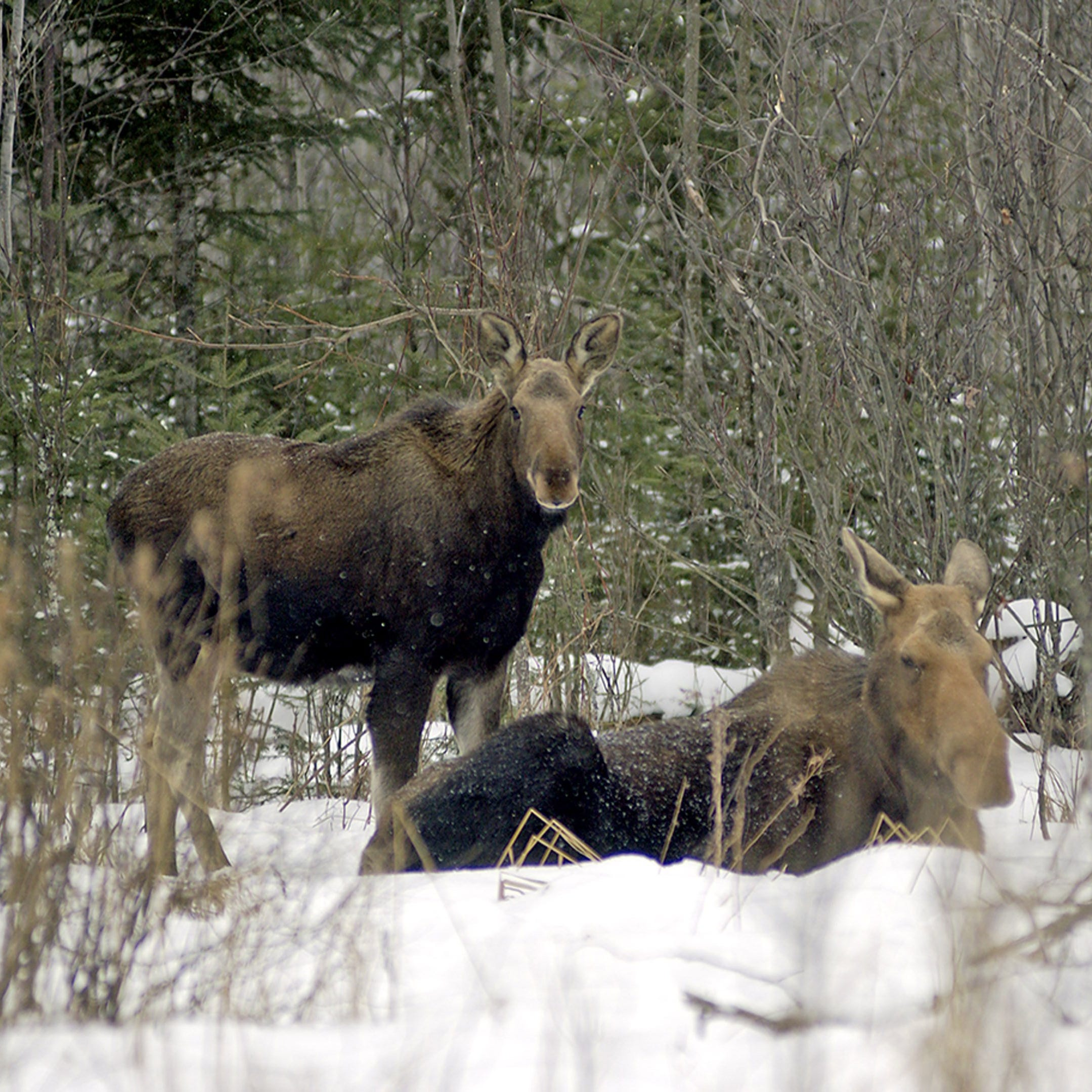 Moose population in western Upper Peninsula estimated at 509