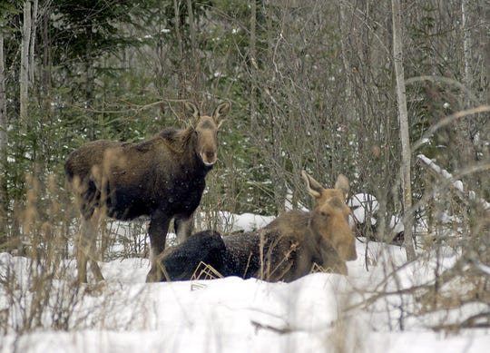 In this January 2002 photo provided by the Michigan Department of Natural Resoursed are two moose in the woods of Marquette County, Michigan. A newly released report from the Michigan Department of Natural Resources says the western Upper Peninsula moose population in 2015 is estimated at 323, a decline of 28 percent from two years ago. (AP Photo/Michigan Department of Natural Resources)