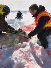 This Feb. 28, 2019, photo provided by the Ontario Ministry of Natural Resources and Forestry, the U.S. National Park Service and the National Parks of Lake Superior Foundation shows an Ontario wolf captured at Michipicoten Island in Ontario, Canada. Authorities have relocated four Canadian wolves to Isle Royale National Park in Michigan in an ongoing effort to restore the predator species on the Lake Superior island chain.