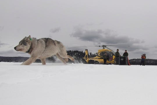 This Feb. 28, 2019, photo provided by the Ontario Ministry of Natural Resources and Forestry, the U.S. National Park Service and the National Parks of Lake Superior Foundation shows a white wolf released onto Isle Royale National Park in Michigan. Authorities have relocated four Canadian wolves to Isle Royale National Park in Michigan in an ongoing effort to restore the predator species on the Lake Superior island chain.