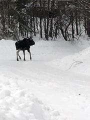 A moose saunters along in the Upper Peninsula snow in this undated photo from the Michigan Department of Natural Resources.