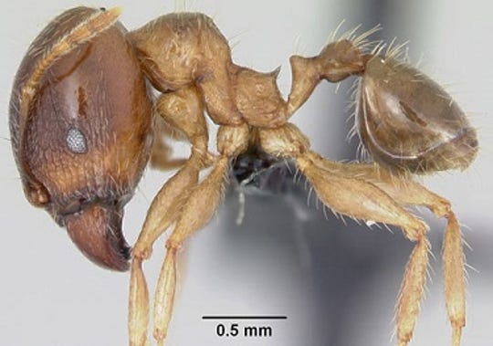 Big-headed ant