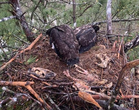 When SCE&G lineman Mason Elliott reached the nest, he could see the other bald eaglet, plus a host of fish and rodent bones the birds had picked dry.