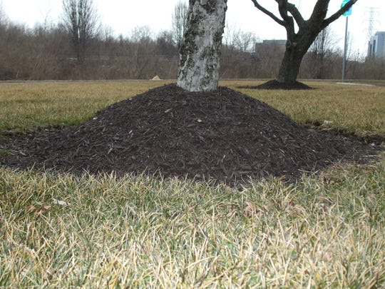 Mulch piled up against the bark volcano style opens the tree to insect and disease damage.