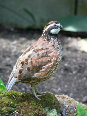Texas Parks and Wildlife Department wildlife biologists predict an average to above-average quail hunting season. The quail season begins Saturday, Oct. 26.