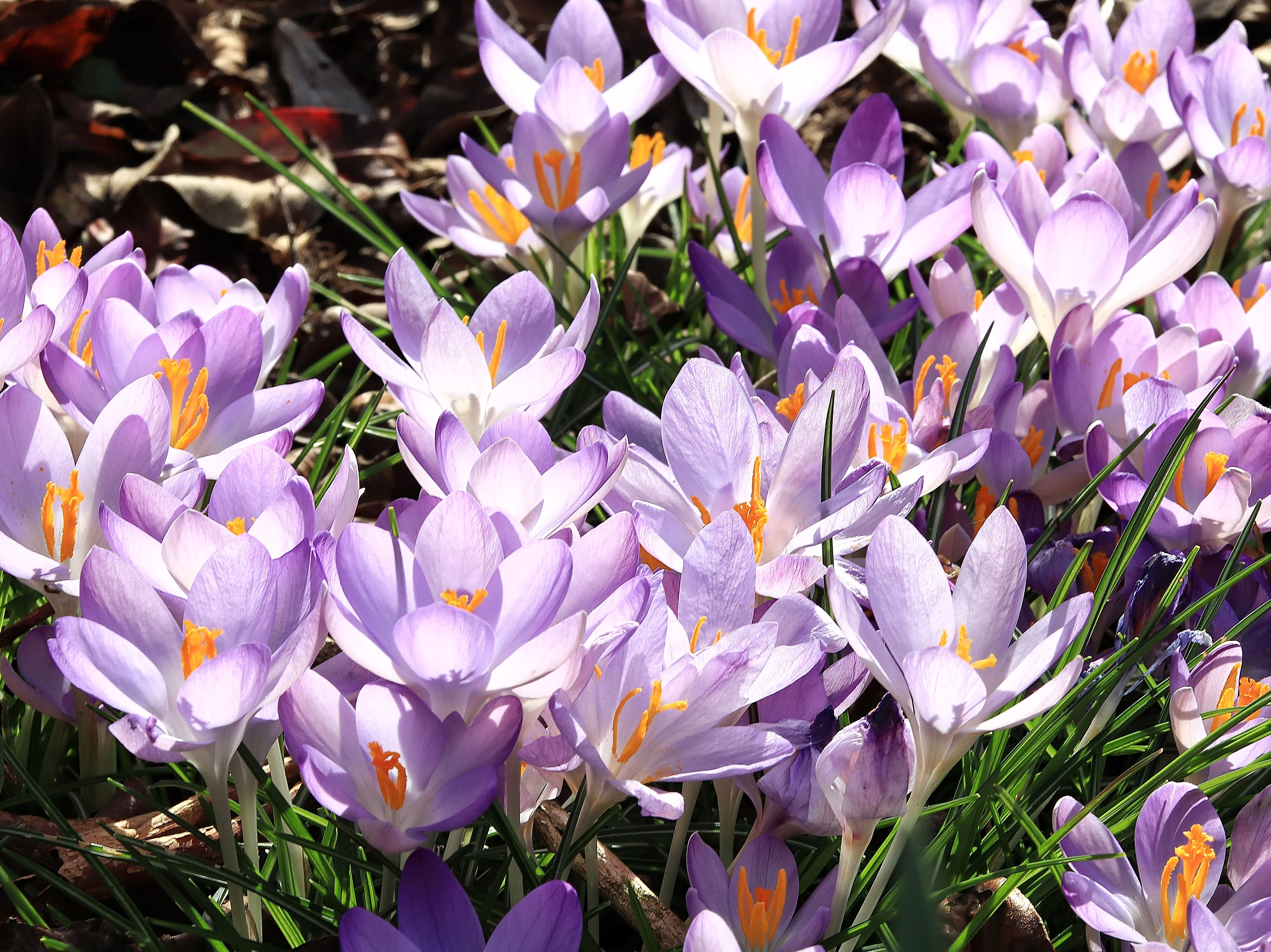 Patricia Serio photographed these purple Crocus in early March 2019 as a sure sign that spring is just around the corner.