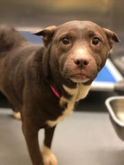 "Storm is available for adoption at Memphis Animal Services, 2350 Appling City Cove.   MAS is offering a reduced adoption fee of $25 for Daylight Saving Time, calling the effort ""Dog Life Savings Time."" More information about adoption is available at https://memphistn.gov/animal_services or by calling 901-636-PAWS (7297)."
