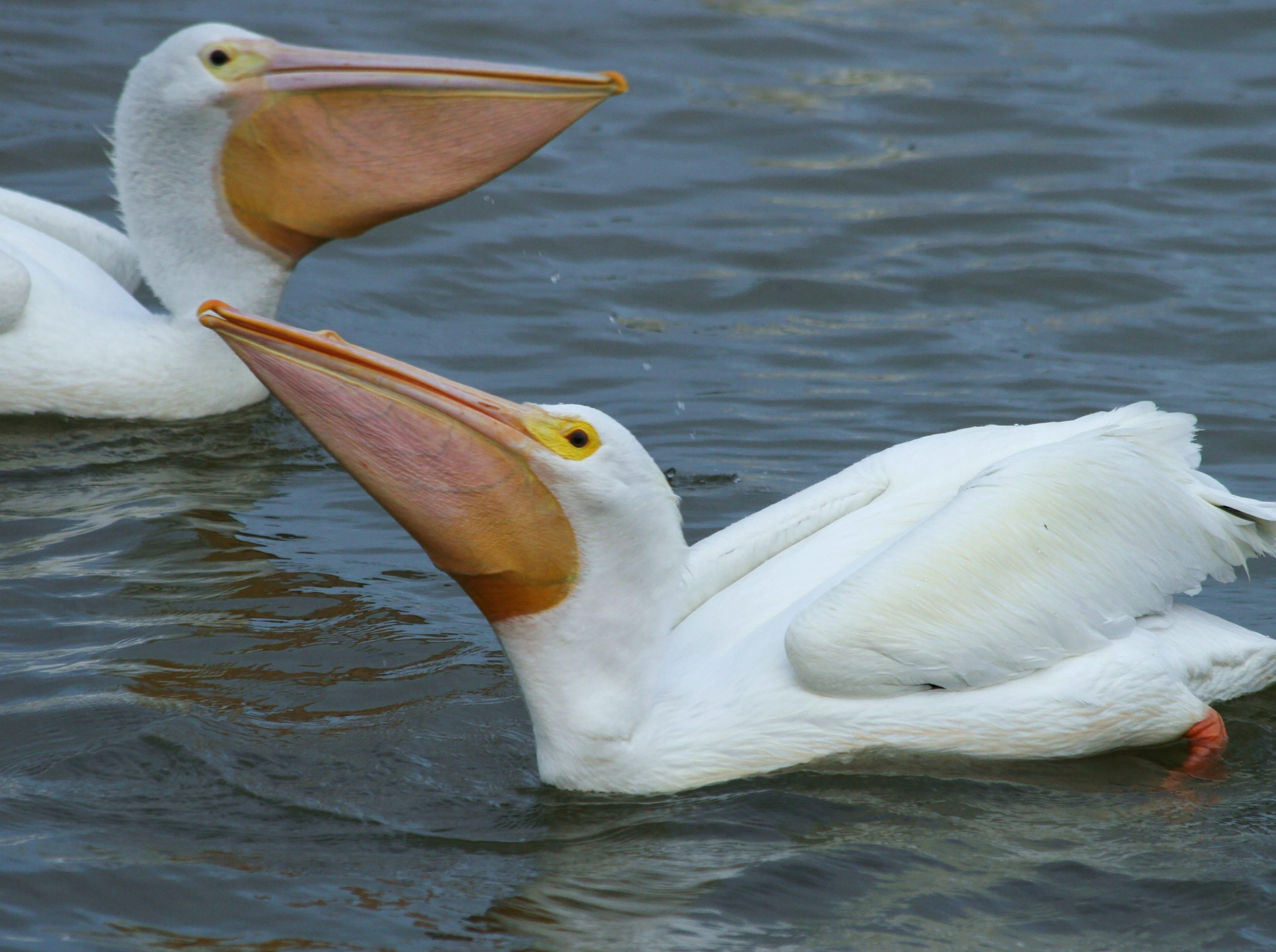 White pelicans, relaxing.