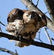 'Hollywood,' a red-tailed hawk that nests at Goffle Brook Park in Hawthorne, clenches a branch.