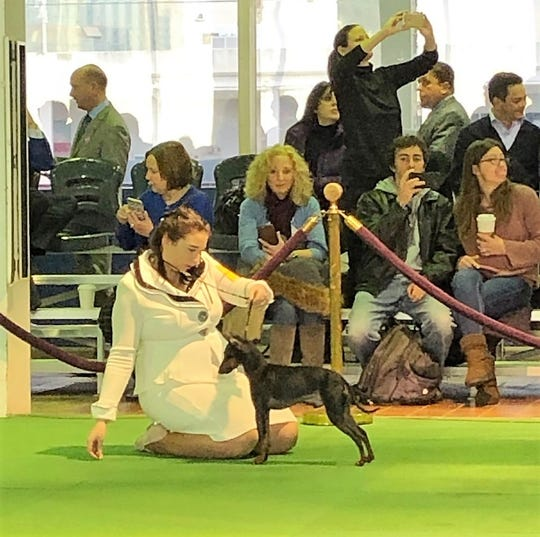 Marit Alsager shows her doberman Duchess at the Westminster Kennel Club dog show in February.