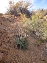 This clump still holds its old flower stalks after heavy rain and snow while new ones form below.