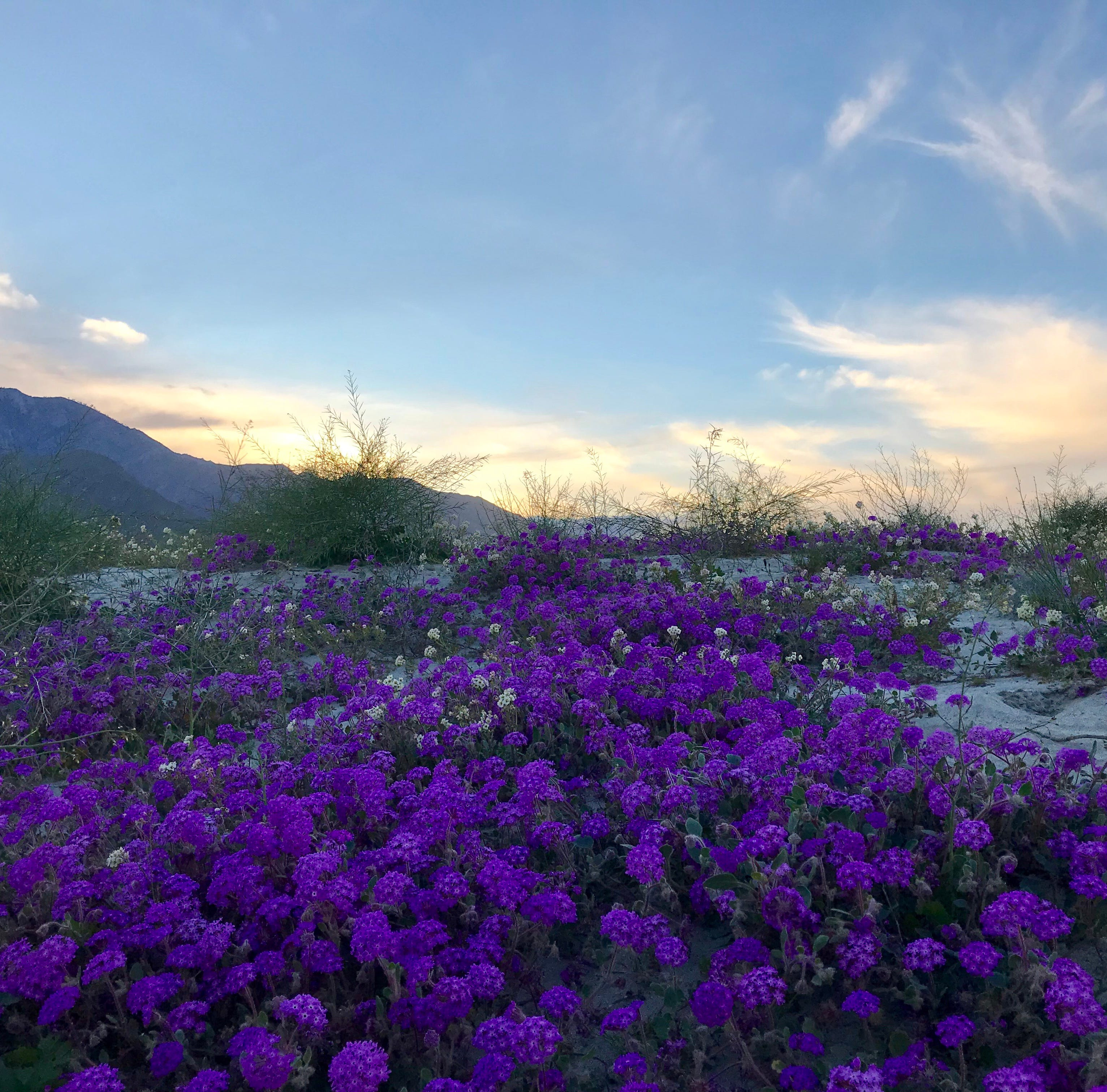 Not up for a road trip? Here's a lazy local's guide to the wildflower super bloom